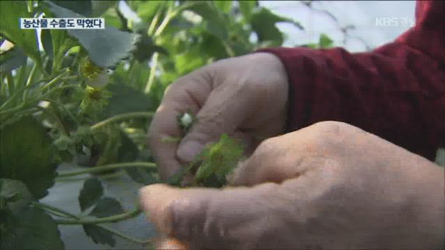 딸기 등 신선농산물 수출길도 막혀
